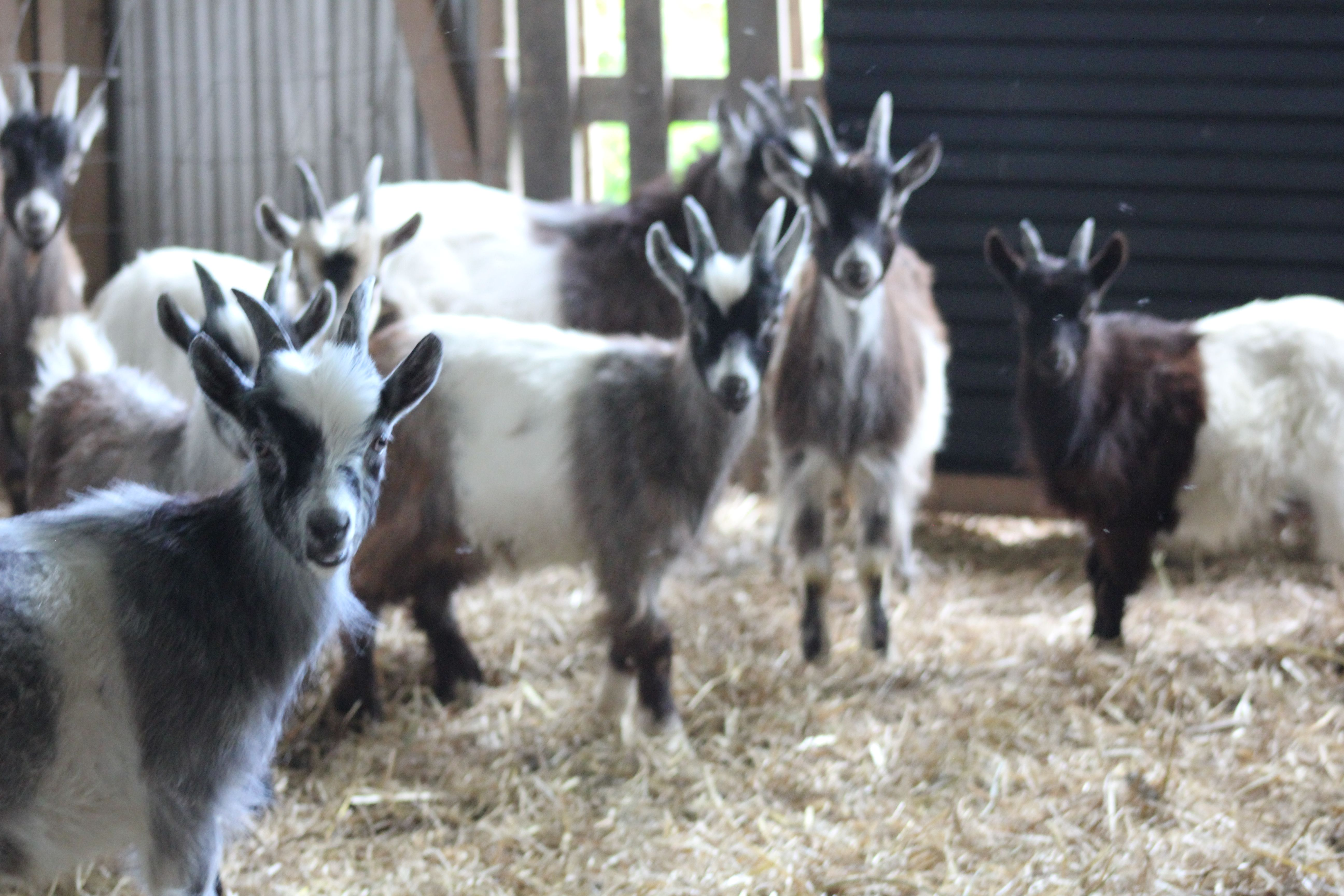 Goats! At Hagelstad Goat Dairy Farm in Öland, Sweden